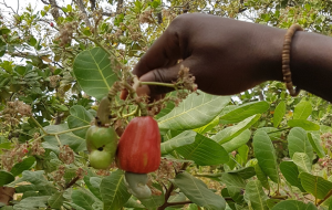 Cashew-Pflanze in Togo