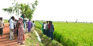 Reisanbau im Senegal