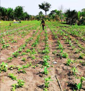 Anbau von Lebensmitteln wie Gari, Tapioka, Attiéké, Maniokmehl, Gemüse in Togo