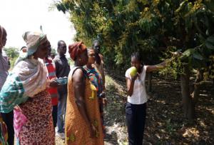 GHANA, Accra, Mango-Plantage
