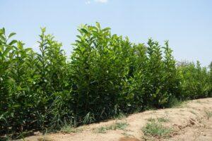 Die Setzlinge wachsen dank stabiler Bewässerung gut in der sambischen Hitze